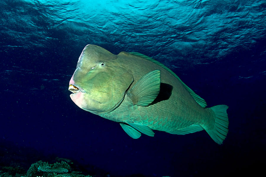 bumphead_parrot_fish_by_carettacaretta.jpg